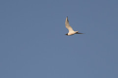Gull-40015.jpg (Mully410 * Images) Tags: bird birds gull birdwatching birder bonapartesgull tcaap ahats burdr tcaapwva