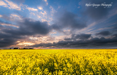 Sunset over the Rape Fields (Rob Grainger) Tags: sunset sky cloud yellow skyscape landscape twilight nikon rape filter lee f28 cloudscape oilseed 1424mm sw150