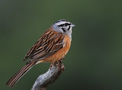 Cia / Rock Bunting (anacm.silva) Tags: wild naturaleza bird nature birds spain espanha wildlife cia natureza aves ave emberizacia rockbunting monfrague parquenacionaldemonfrague naturesharmony escrevedeiradegargantacinzenta