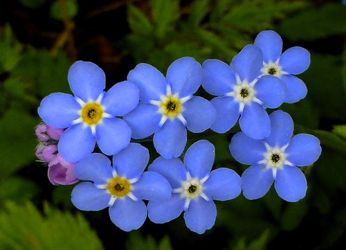 Kaukazische vergeet-me-niet . . . . . . . . . Great  forget-me-not