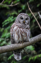 Barred owl (roncasual) Tags: owl barred barredowl