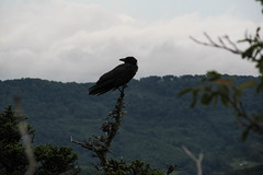 2012-07-20 15.39.43 (NaskarrKid) Tags: blue mountains ridge parkway crow blueridgeparkway