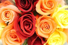 Rainbow Of Roses (bigbrowneyez) Tags: flowers roses ontario canada nature rose rainbow warm gorgeous ottawa blossoms delicious precious romantic bouquet colourful lovely fiori delicate breathtaking delightful bellissimi natutra rainbowofroses bellicolori