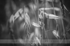 Madurado al sol (Carme MV Photography) Tags: bw naturaleza macro nature canon eos bn junio spikes cr espigas 2013 viñeteado 400d enfoqueselectivo lamanoamiga