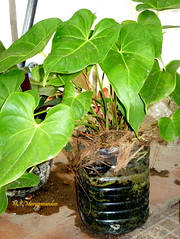 Thriving and recycling (M.K.Muruganandan) Tags: bottle anthurium recycling