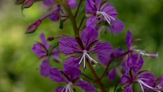 fireweed (TB 5161) Tags: norway nature natur norge noreg bergen hordaland macro melkeplassen plant flower blomst blossom sony sonyslta77 outdoor geitrams