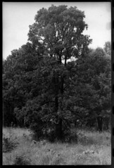 Tree (Malinku) Tags: mamiya mamiyadtl2000 nature film filmcamera fuji fujifilm fujineopan fujineopan400 landscape tree