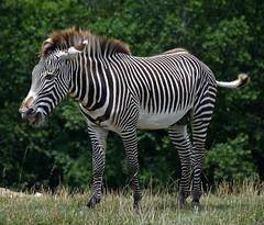 Grevy's Zebra (tim.perdue) Tags: wilds nature preserve conservation center cumberland ohio zoo animal grevys zebra stripes horse equine equus grevyi mammal