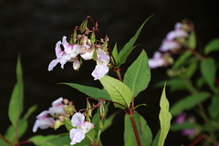 Balsam (NTG's pictures) Tags: banks river tame reddish vale country park himalayan balsam impatiens glandulifera