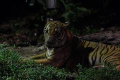 Tiger (tik_tok) Tags: singapore singaporezoo nightsafari asia animal tiger bigcat night