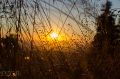 sunset through grass (YomDom) Tags: sunset through grass feldberg taunts hessen taunus warm gelb yellow beauty nature natur