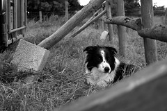 Dog at the Stables (Sazzaheaton) Tags: dog collie field bars wood trailers black white edit cute poke grass nature apeture horses contrast beautiful day curious outside animal