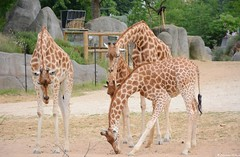 Girafes (Johanna Viala) Tags: girafe pzp parczoologiquedeparis zoodevincennes animaux