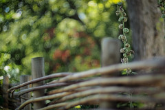 The Plant at the Fence (eriklvquist) Tags: bokeh golden green red flower fence wood trees tree bokehlicious vintage m42 olympusomdem1 fujinonebc50mmf14 garden bubbles sun manual sweden malm contrast camdioxfocalreducer