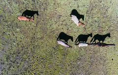 Horses on a Boggy Paddock from Above (gazrad) Tags: agriculture boggy colour country farm fromabove horizontal horse lookingdown paddock rural several shadow southernblackbream lurg victoria australia au