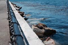 Snooze (crysjwphotos) Tags: monterey california ca cali sea bay lion sleep snooze nap rock fence wildlife animal