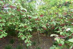 Euonymus europaeus -Spindle Red Cascade- at Cliveden (tedesco57) Tags: cliveden buckingham duke astor profumo affair hotel