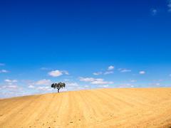 Alone (josaraujo) Tags: tree alone one simple minimal yellow blue clouds sky skyline olympus esolympus mzuiko1240f28 em1 alentejo summer hot color nature