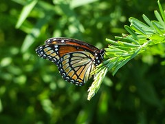 Viceroy (Limenitis archippus) (Nature In a Snap) Tags: crosswicks creek greenway province line road access plumstead nj new jersey 2016 nature wildlife viceroy limenitis archippus mimic butterfly butterflier butterflying winged lepidoptera