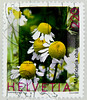 great stamp Helvetia 220c Chamomile (Matricaria chamomilla, Echte Kamille, Camomille sauvage, manzanilla de Castilla, Рома́шка апте́чная, 德國洋甘菊, Camomila-vulgar, Papatya)  Switzerland timbres Suisse Swiss Schweiz Briefmarke porto francobolli Svizzera (stampolina, thx! :)) Tags: stamps helvetia swiss switzerland schweiz postage porto briefmarke postetimbre timbres francobolli bollo bolli sello selo timbre sellos briefmarken 邮票 yóupiào марка почтоваямарка revenue пощенскиразноски frimærker templite ταχυδρομικάτέλη 送料 우편요금 poštarina paštoišlaidos wysyłka frimärken маркица pečiatky ค่าไปรษณีย์ pullar poštovné bélyegek postes frimaerke timbreposte postestimbres green grün أخضر 绿色 зеленый 緑 verts yeşil verde हरा สีเขียว πράσινοσ zöld 녹색 zielony 切手 timbru postapulu pulu timbresposte kamille matricariachamomilla echtekamille camomillesauvage manzanilladecastilla рома́шкаапте́чная 德國洋甘菊 camomilavulgar papatya chamomile