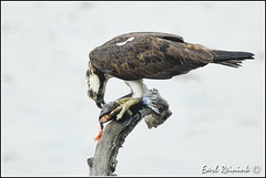 Hmm, everyone is eating Catfish... (Earl Reinink) Tags: catfish naturephotography earl reinink earlreinink nikon nikond5 niagara ontario osprey uzudouzdra