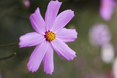 flower (arkadiykatsuba) Tags: m42 flower pink light soft orange bokeh green nature zeiss tessar ddr jena