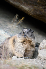 _DSC6208.jpg (Pixelkeeper) Tags: wildlife murmeltier