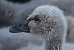 Cygnet (baby swan) at Whangaparaoa (Lynne Karen) Tags: swan babyswan cygnet whangaparaoa newzealand northisland animal bird flickrsbest overtheexcellence