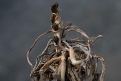 Roots (Yuta Ohashi LTX) Tags: roots plant   orchid  nikon  d750 58mm f14 voigtlander nokton    fixed focal 5814 sl primelens