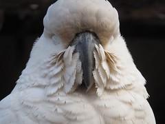 Sleeping (Mal Doobie) Tags: featherdale animal feathers featherdalewildlifepark australianwildlife sydney feather bird nativebird parriott