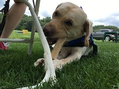 Calvin chews his Nylabone on the golf green (hero dogs) Tags: golf tournament dog labrador cute therapydog servicedog