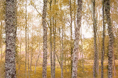 trees before highlands (Hal Halli) Tags: trees forest wallart nature scotland uk sharingart magicunicorntheverybest perth legacy netartii simplysuperb