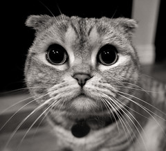 Cartoon Cat Face (K Koval) Tags: ollie cat cute face whiskers wide angle black white scottish fold rokinon 12mm