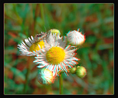 Tarnished Plant Bug, Lygus Lineolaris, on Robins Plantain, Erigeron Pulchellus 2 - Anaglyph 3D (DarkOnus) Tags: pennsylvania buckscounty huawei mate8 cell phone 3d stereogram stereography stereo darkonus closeup macro insect tarnished plant bug lygus lineolaris robins plantain erigeron pulchellus anaglyph