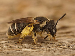 Nomia femoralis, female (henk.wallays) Tags: aaaa arthropoda anthophila ar asalari bees bier blanokrdlovce bonkoskrzyde gender hautflgler henkwallays hymenoptera insect kiletiivalised mehiliset nature nomia nomiafemoralis opnokrilci phng pravepele stages solitrbiene solitrbienen steklar zarkanatllar abeille abeillesauvage abejas adult antfilos apiformes bee biene bienen bij bijen bonkwki closeup female himenpteros hymenoptere hymnoptres hrtysszrnyak imenotteri insecta insecte insekt macro natuur sauvage solitaire solitary vliesvleugelig vliesvleugelige wildebij wildlife revengjer revingede