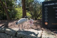Ibis at the Taronga Zoo in Sydney (Mister Bunny) Tags: australia sydney tarongazoo zoo mosman newsouthwales au ibis