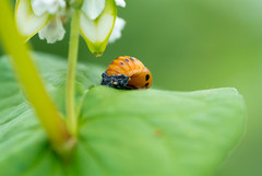 (ri*hika) Tags: buckwheat molting ladybug insect