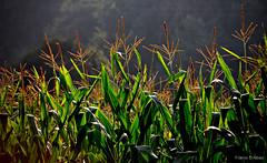 Millo verde (Franco DAlbao) Tags: francodalbao dalbao nikond60 millo maz corn plantas plants contraluz backlight gondomar cultivo farming galicia
