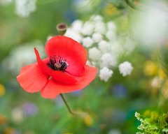 corn poppy border (photoart33) Tags: flowers poppy wildflowers cornflowers summer cowparsley