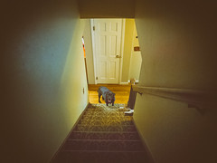 Paisley (rafalweb (moved)) Tags: dogs pets labs labradorretrievers brownlabs availablelight naturallight feelslikefilm grain canon powershot g12
