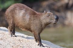 Capybara stretching a bit (Tambako the Jaguar) Tags: capybara big rodent brown standing stretching profile beach sand wildanimal wild wildlife nature pantanal matogrosso brazil nikon d5