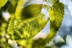 Multiple Nature 342 (pni) Tags: leaf vein dof blur focus multiexposure multipleexposure tripleexposure tlnlahti tlviken helsinki helsingfors finland suomi pekkanikrus skrubu pni