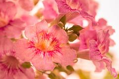 El mundo en mi jardn - The world in my garden (Nathalie Le Bris) Tags: macro flor podranea rosa bignone fleur flower