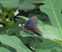 Red-spotted Purple (Limenitis arthemis) (Nature In a Snap) Tags: yard list point pleasant nj new jersey nature wildlife redspotted purple limenitis arthemis butterfly butterflying butterflier lepidoptera winged beauty colorful