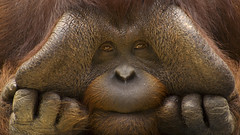 1286387 (eraozillo) Tags: closeups curious endangered expressions faces fingers greatapes hands humorous males mammals orangutan portraits primates sad thoughtful egi