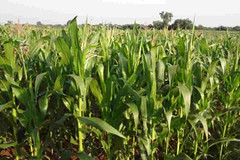 maize_Crops_Structured water (crystalblueindia) Tags: agriculture farming crops fertility soil maize crystalblueindia structuredwater organicfarming