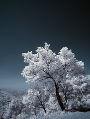Tree of a kind (Lolo_) Tags: infrared ir infrarouge arbre tree provence france mont vinaigre esterel landscape paysage massif frjus mandelieu napoule cannes alpes maritimes