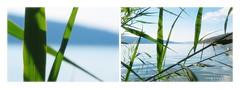 Points of view (nathaliedunaigre) Tags: lac lake lacdannecy roseaux reeds collage montage diptyque macro paysage landscape view vue pointofview nature plantes plants profondeurdechamp hautesavoie france