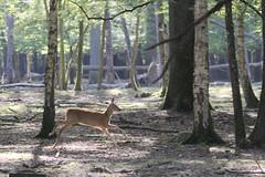 IMG_4747 (minions) Tags: rambouillet 2016 parc animaux cervids