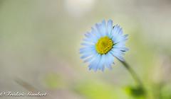 fresh daisy autumn (frederic.gombert) Tags: white sun flower flowers light sunlight color colors macro nikon d810 autumn green yellow